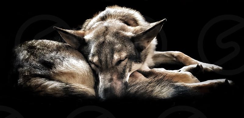 Wolfdog  photo
