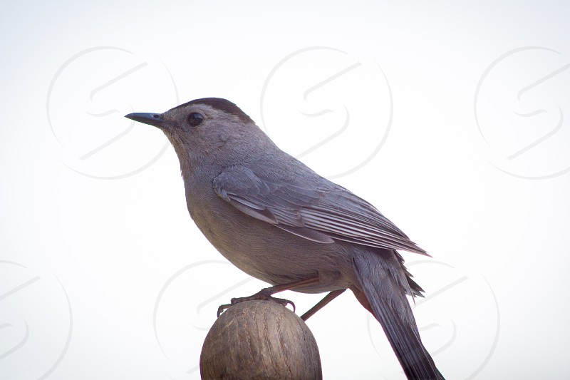 Catbird on a rocker photo