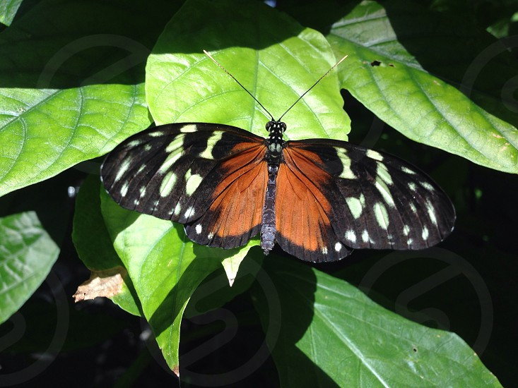 closeup photo of black and brown butterfly perched on green leaf photo