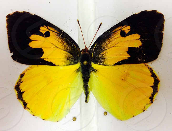 California dogface butterfly the California State Insect gold black  photo