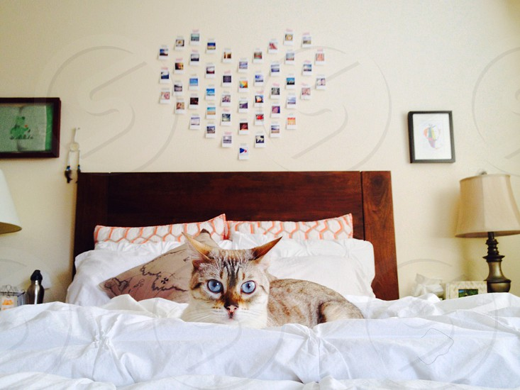 Lynx point Siamese with blue eyes photo