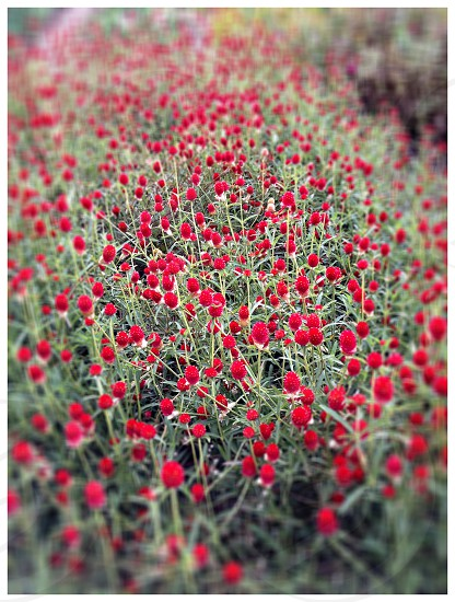 A field of red Clover photo