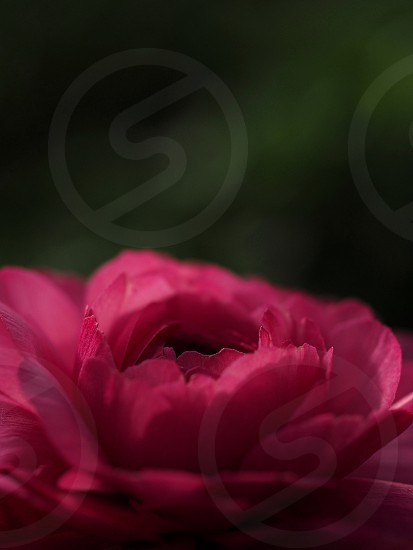 shallow focus photo of pink petaled flower photo