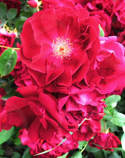 Red roses in full bloom on the rose bush.  photo