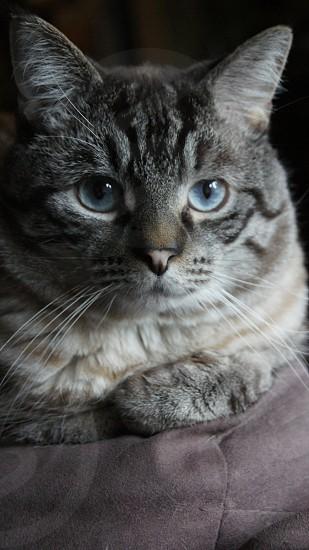 Cat Blue Eyes photo