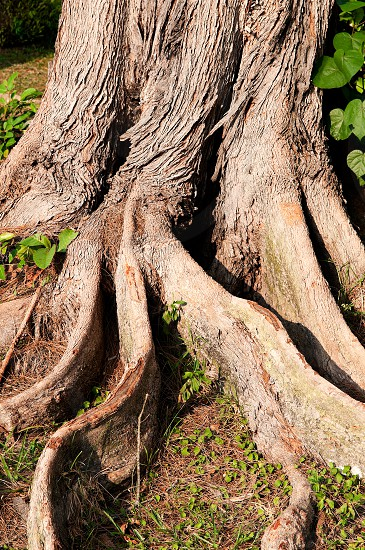 Closeup of old tree roots. photo