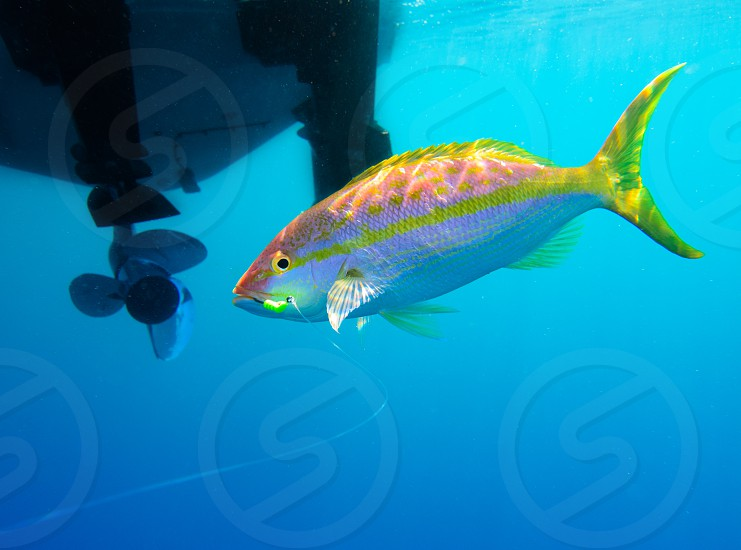 A yellowtail snapper being caught by a fisherman.  Gulf of Mexico. photo