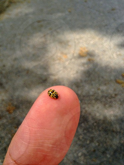 eye spotted ladybug photo