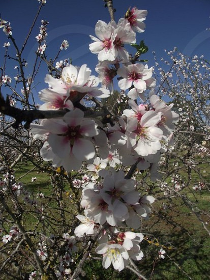 Almond Blossom. Willunga South Australia photo
