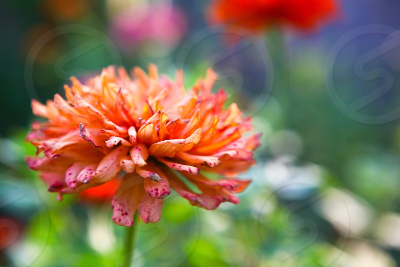 Zinnia garden Summer summertime flower flowers photo