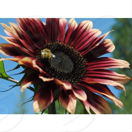 carpenter bee perched on maroon petaled flower at daytime photo