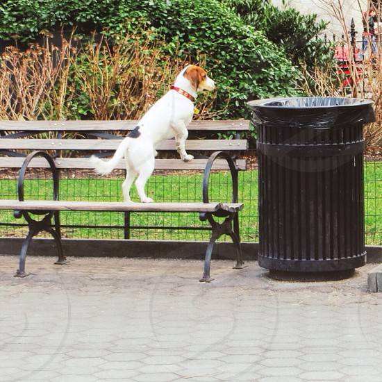 white and brown beagle on park bench photo
