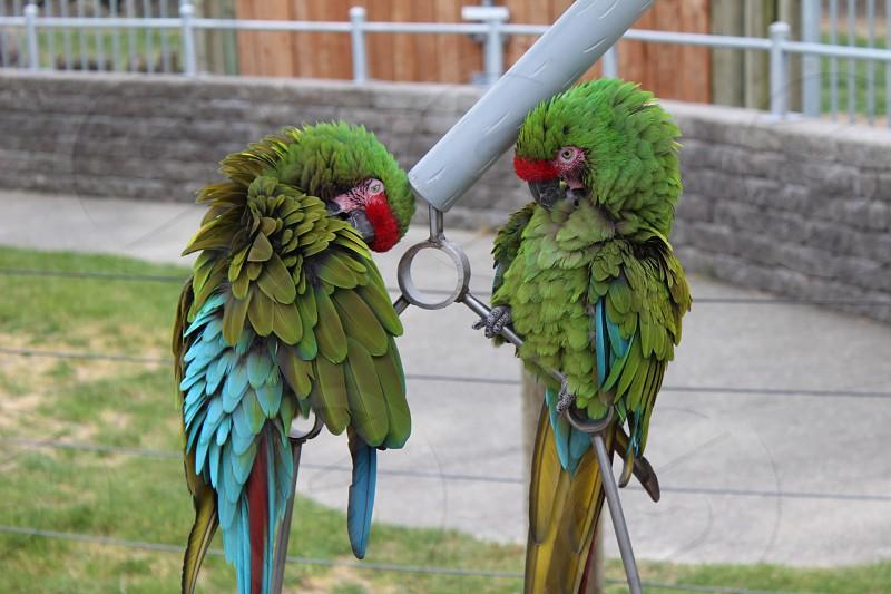 military macaw photo