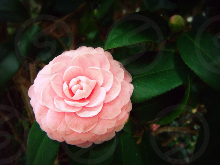 pink camelia flower photo