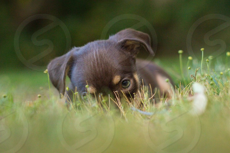 black tan puppy on grass photo