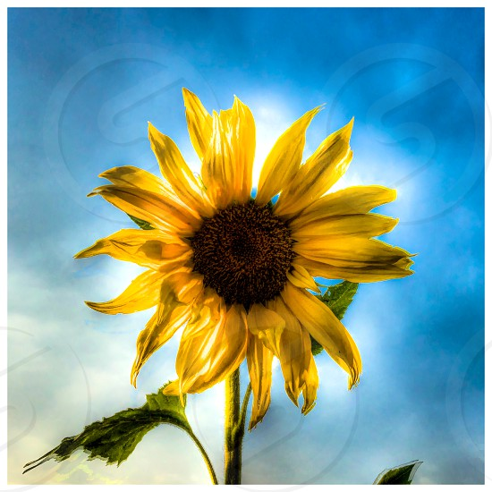 A very dreamy sunflower discovered in a field in Malavli India.  photo