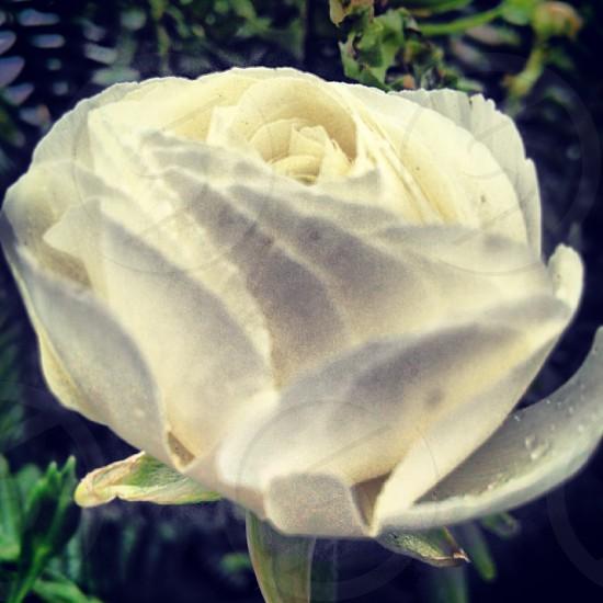 flower rose white spring photo