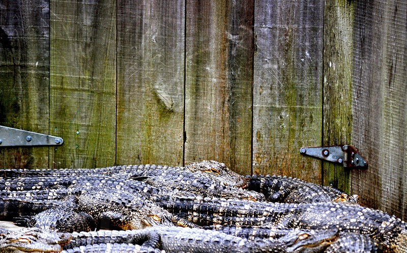 Alligators on top of one another photo