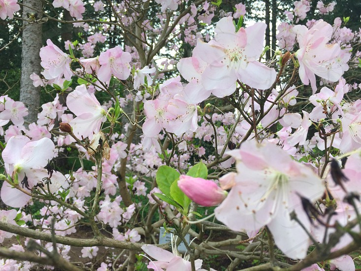 Cherry blossomspring photo