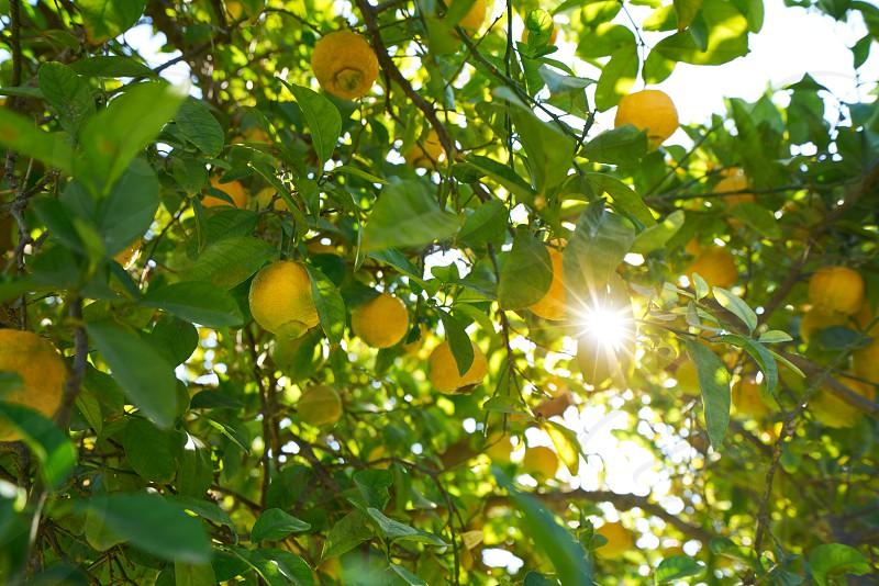 Valencia lemon tree at Turia park gardens view in Spain photo