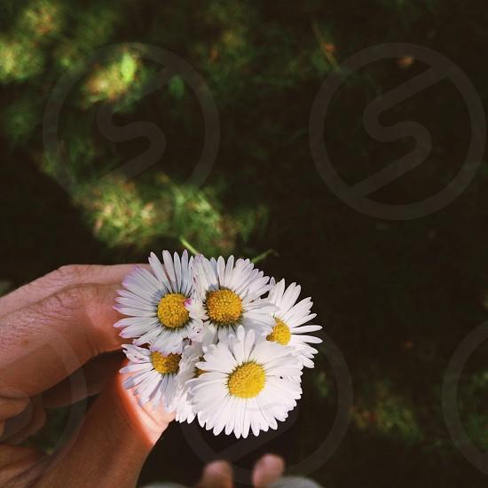 white sunflower in hand photo