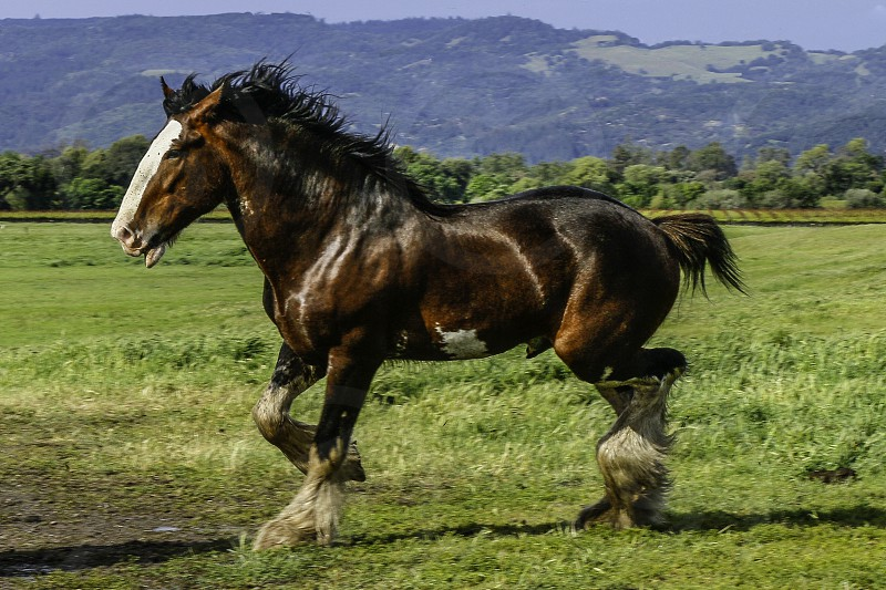 The Clydesdale commands a Quite Strength Premium Feel and Quite Confidence Powerful and Historically Admired by All....   photo