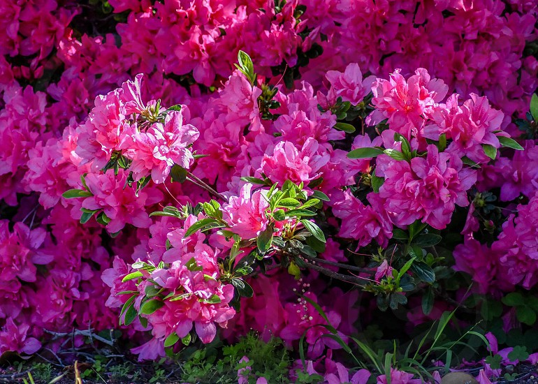 pink petaled flowers on green hedge during daytime photo