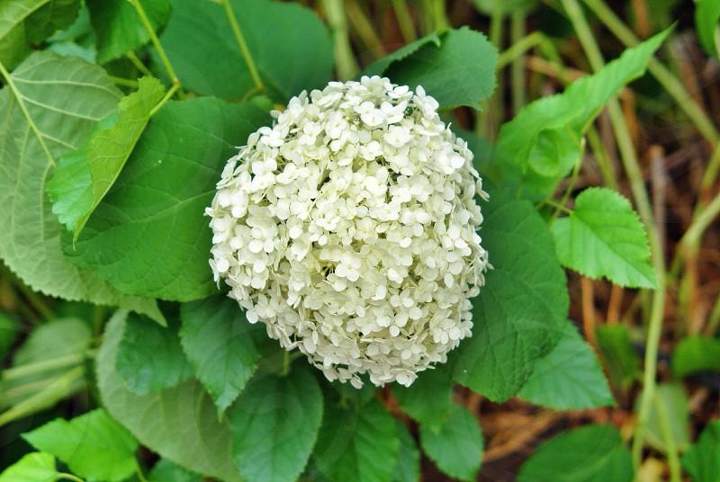 white lantana flower photo