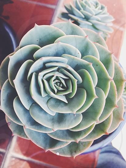 Suculent plantflowers photo