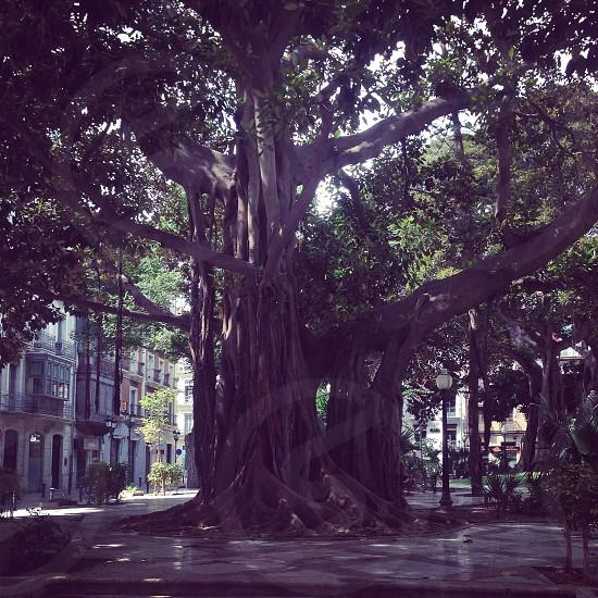 Spooky tree in Alicante town. Alicante 2014 photo