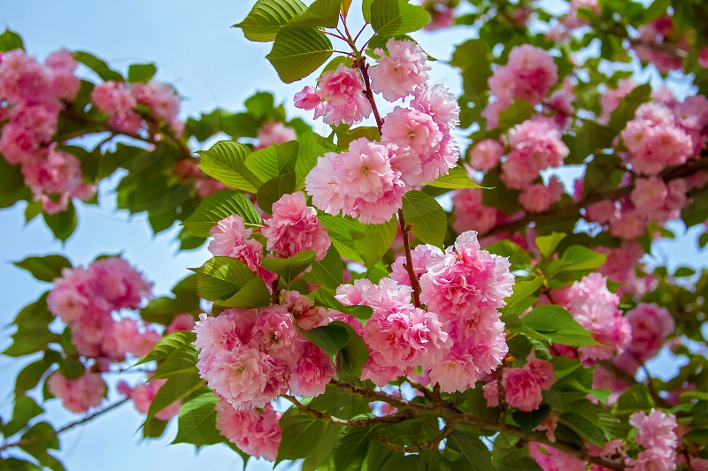 Beautiful Sakura flower (cherry blossom) in spring. Pink flower of Sakura tree against the blue sky. photo