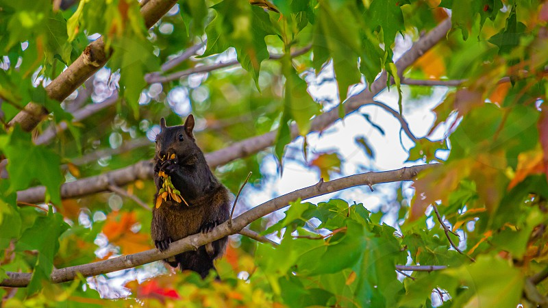 A black squirrel sits in a maple tree nibbling on its seeds. photo