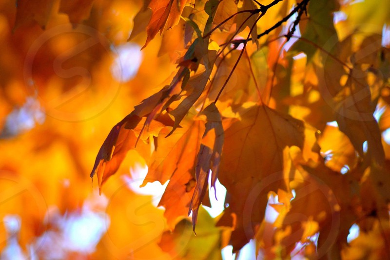 yellow maple tree photo