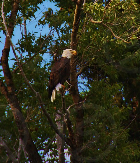 Bald Eagle I saw 5 on my raft trip down the Snake River but I like the profile of this one. Jackson Wyoming photo