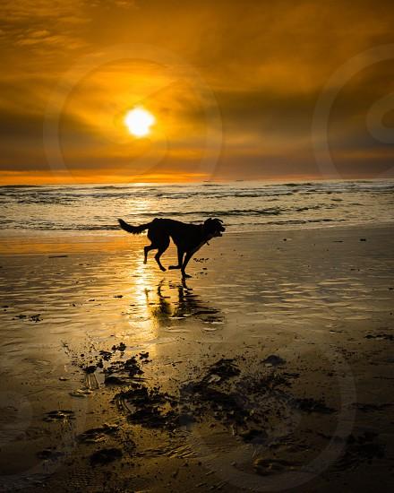 Beach dog sundown play silhouette summertime photo