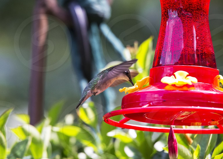 gray and black hummingbird flying on red lantern photo