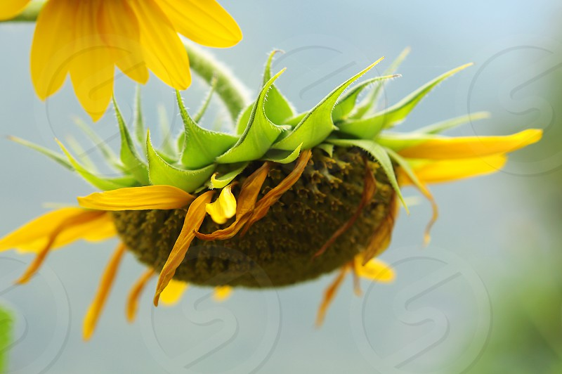 Mature flower of sunflower against the sky photo