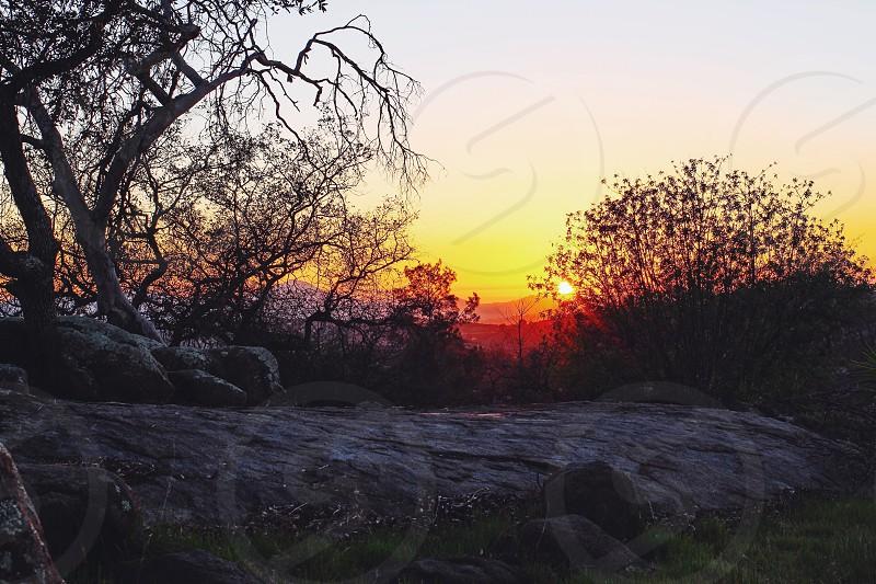 grey tree on sunset  photo