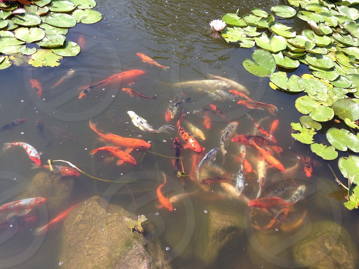 Orange fishes in a pond photo