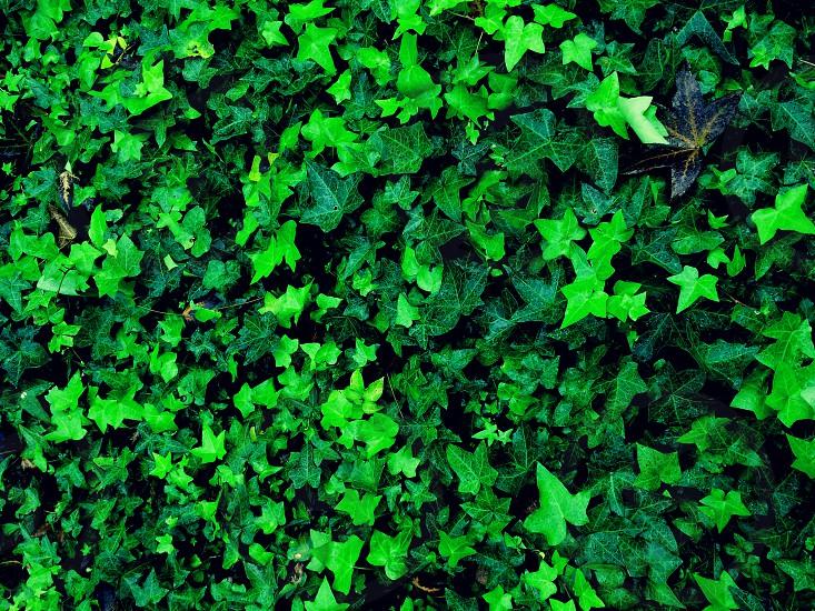 Rainy Ivy photo