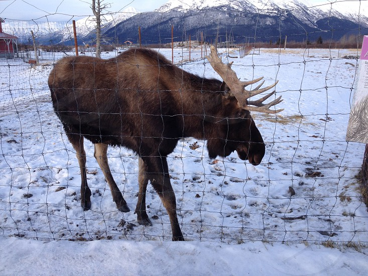 brown moose on snow field near net photo