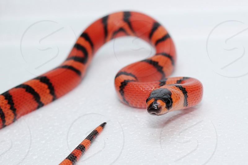 Juvenile Honduran Milk Snake photo