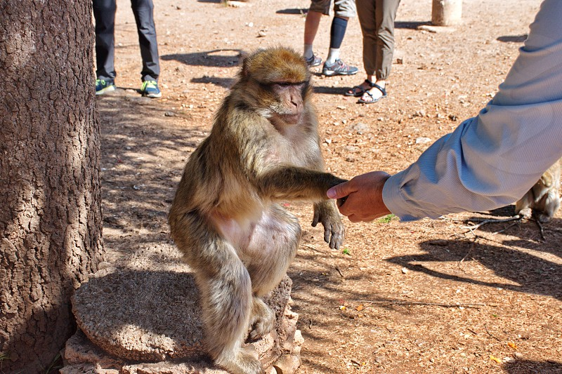 Macaque monkey waiting foe the food from tourists in Morocco photo