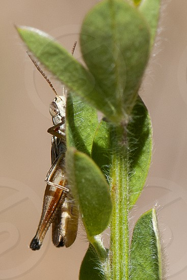 macro insect grasshopper photo