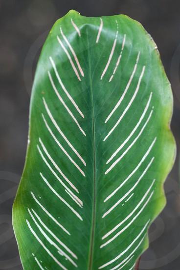Beautiful single green leaf with whites stripes photo