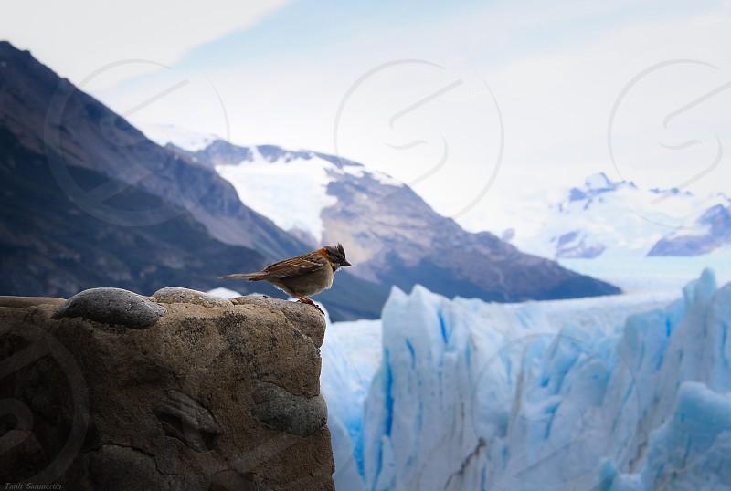 Bird near Perito Moreno glacier in Calafate Argentina. photo