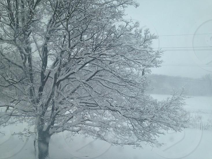 Snowy Maple photo