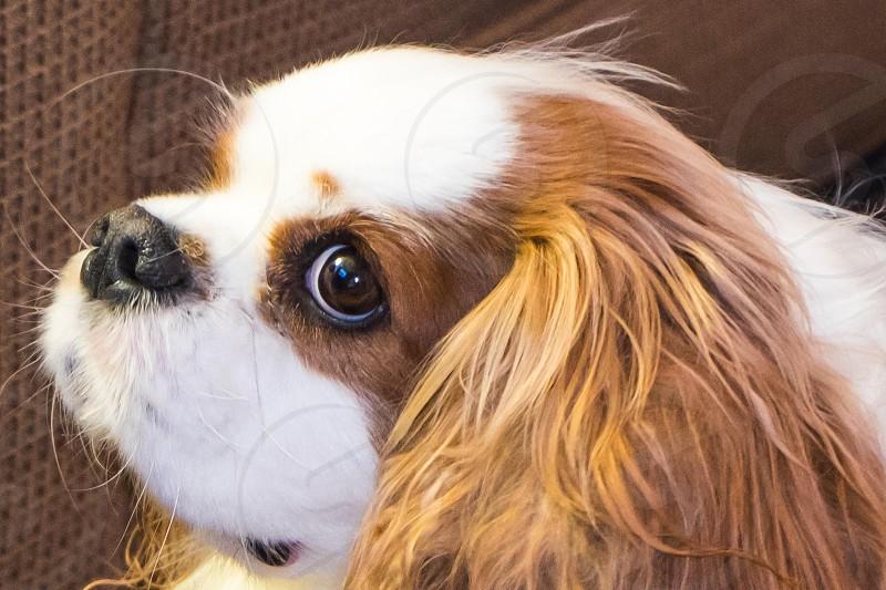 Dog looking curious Cavalier King Charles Spaniel photo