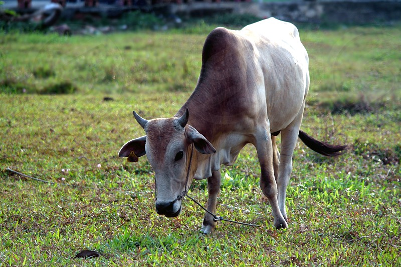 brown cow on green grass field during daytime photo