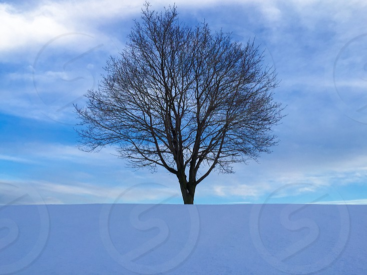 Lone tree in winter.  photo